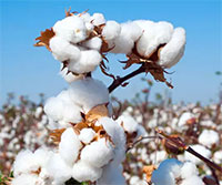 Arvind in India, redefines cotton cultivation with new initiatives
