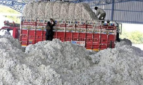 Increasing cotton exports boosts profit margins 001