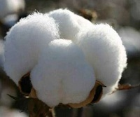 Increasing cotton exports boosts profit margins 002